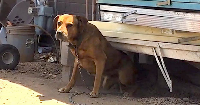 dog chained up for 10 years rescued