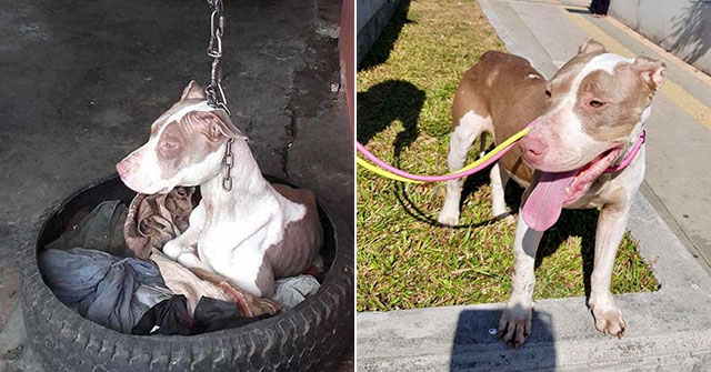 Chained Up Dog Who Couldn't Even Rest Her Head Is Finally Rescued