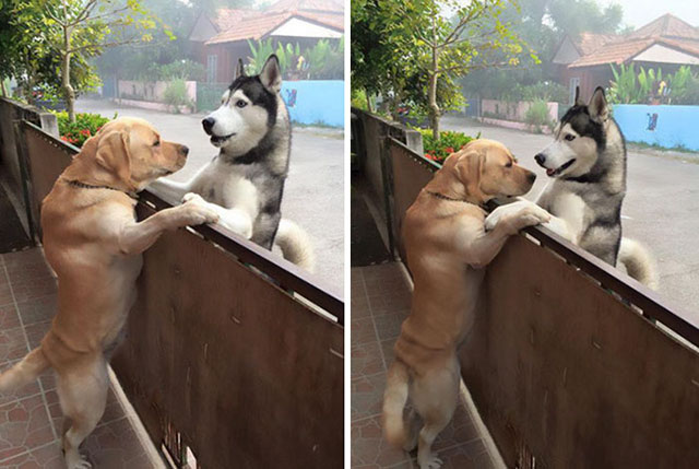 Lonely Husky Escaped The Yard To Hug His Best Friend