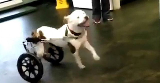 dog story about paralyzed dog getting his first wheel chair