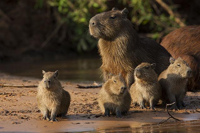 where can i see a capybara