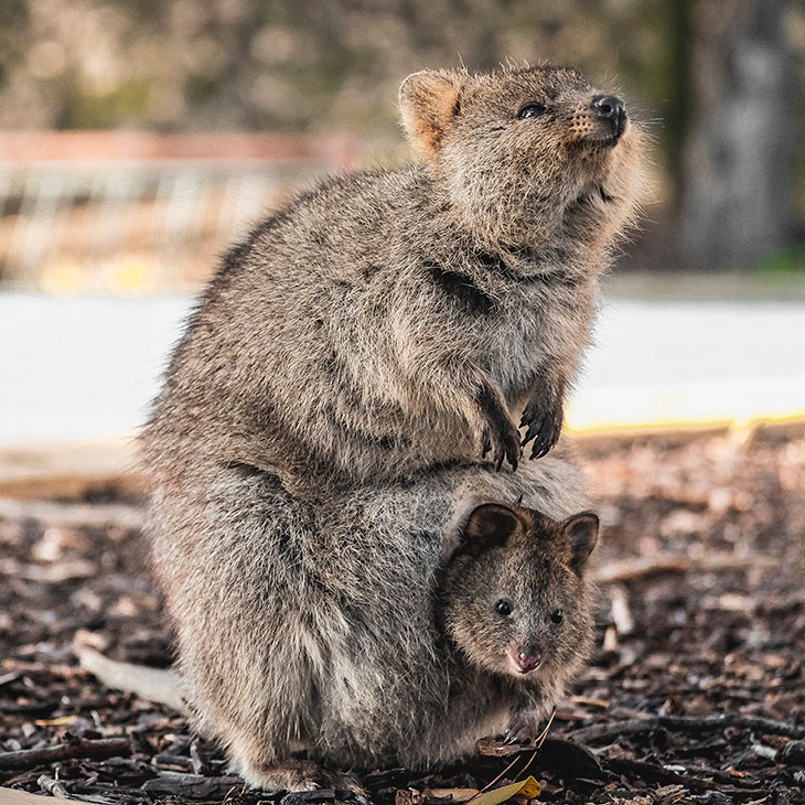 Do Quokkas Throw Their Babies