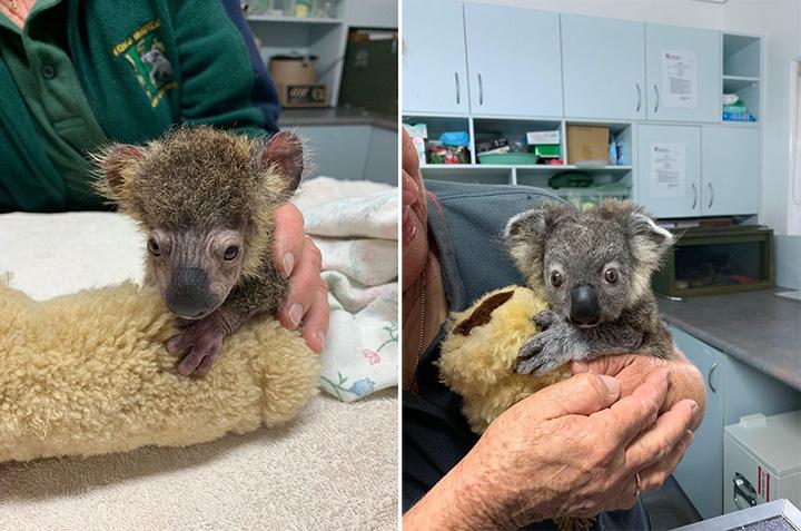 baby koala recovery fire