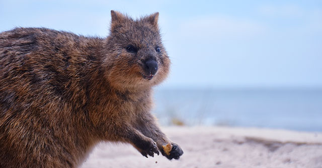 Where Can I See A Quokka?