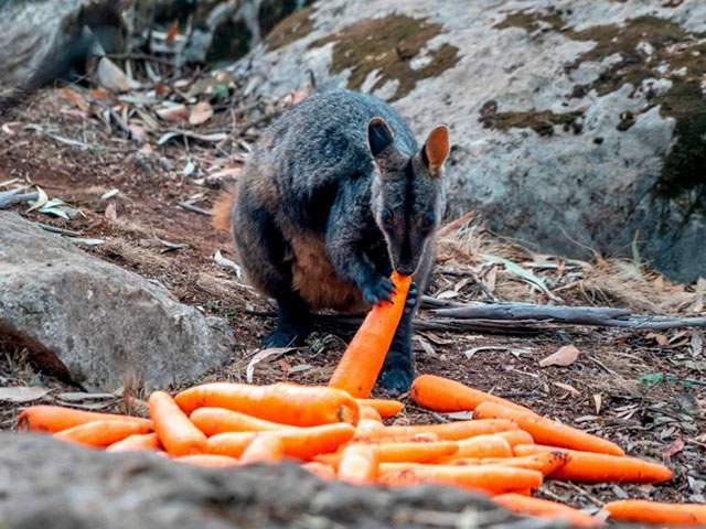operation rock wallaby