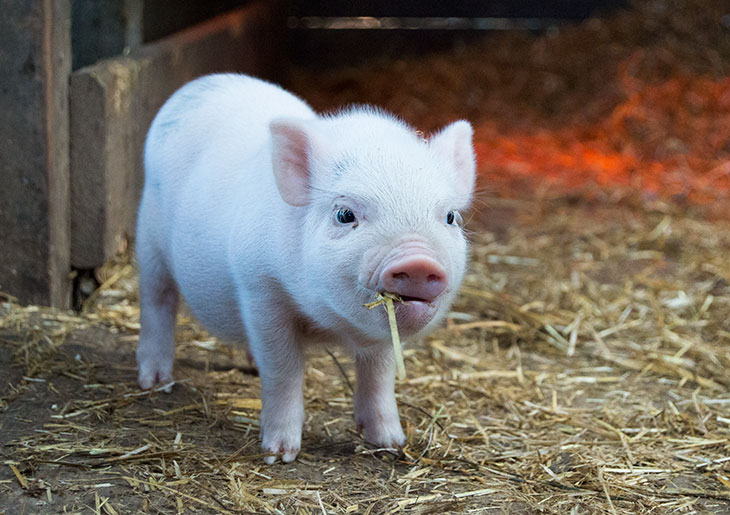 Are Teacup Pigs Good Pets