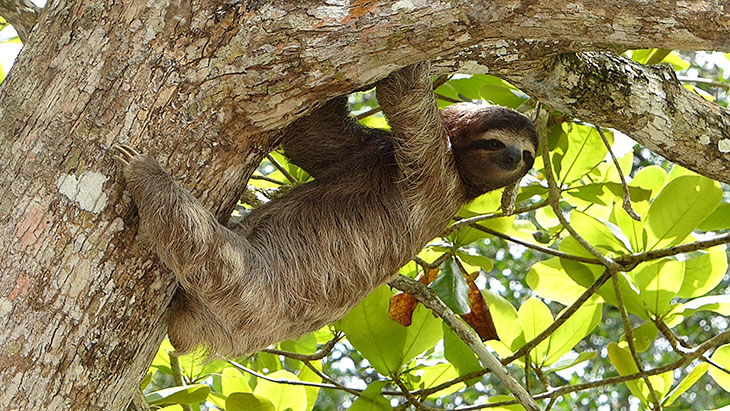 Is It Legal To Own A Sloth As A Pet