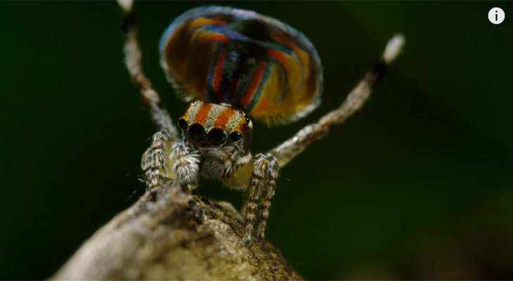 peacock spiders courtship