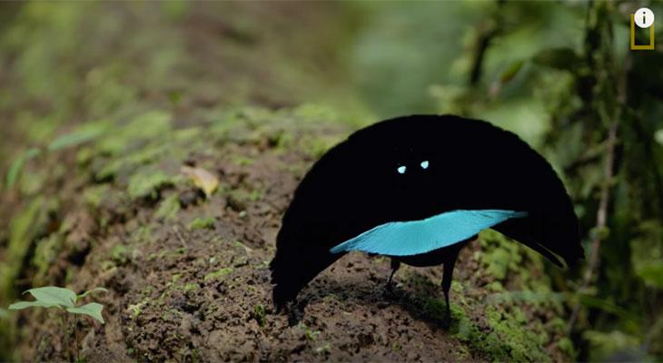 birds-of-paradise courtship