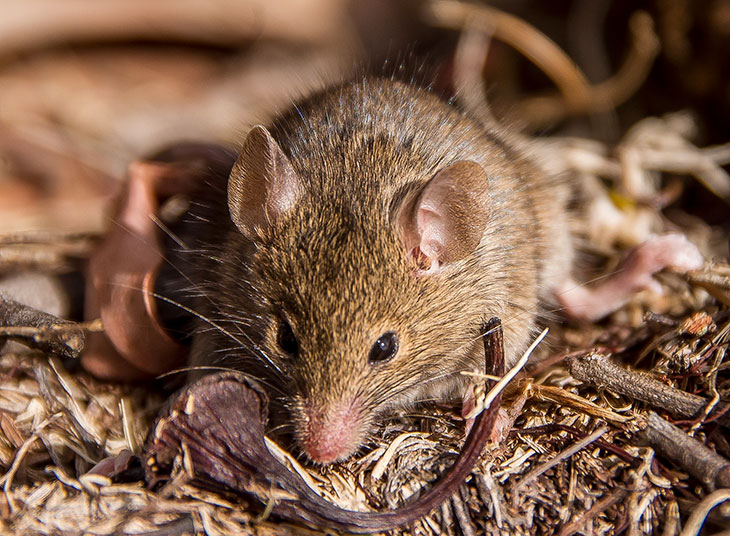 which animals mate the longest? Antechinus
