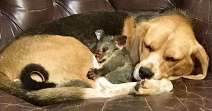 beagle adopts possum