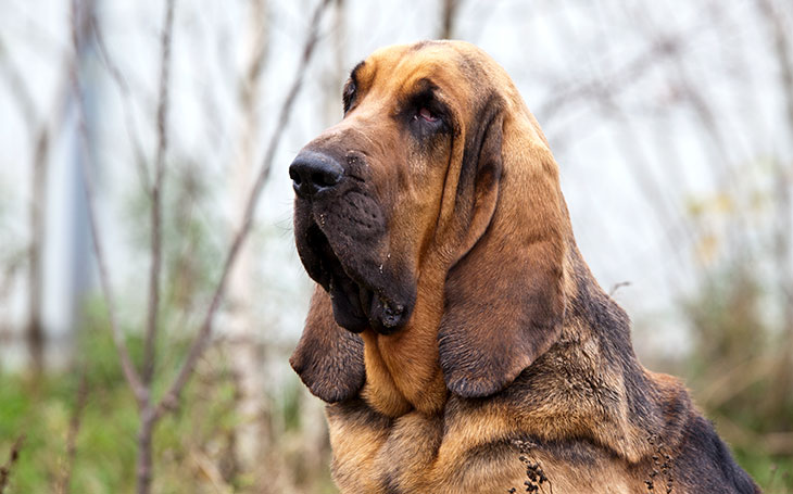 bloodhounds tracking