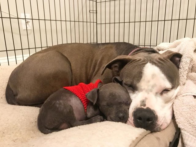 pitbull adopts puppy after losing her babies