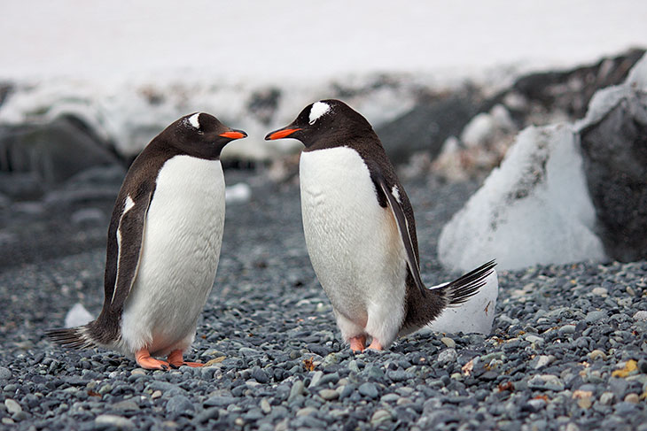 Penguins Propose With A Pebble