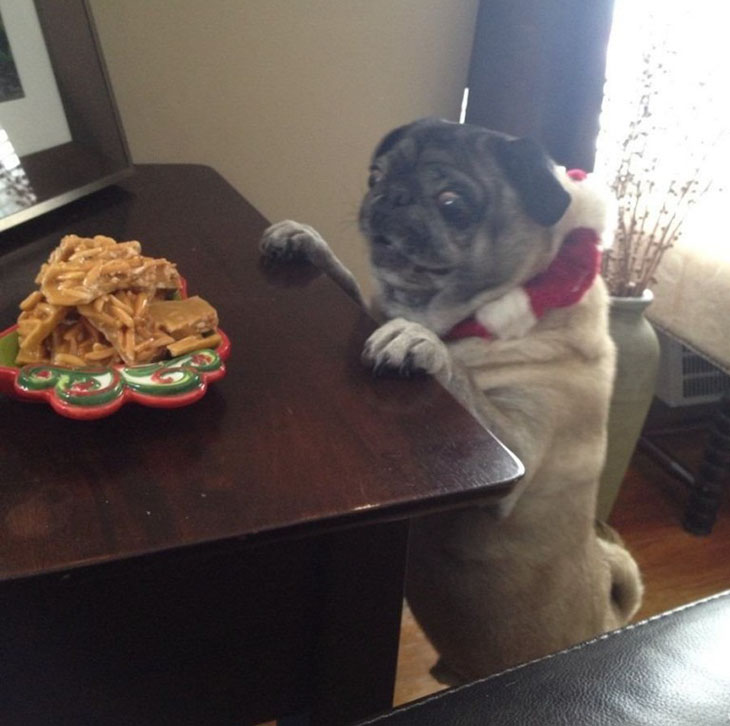 funny pug pictures