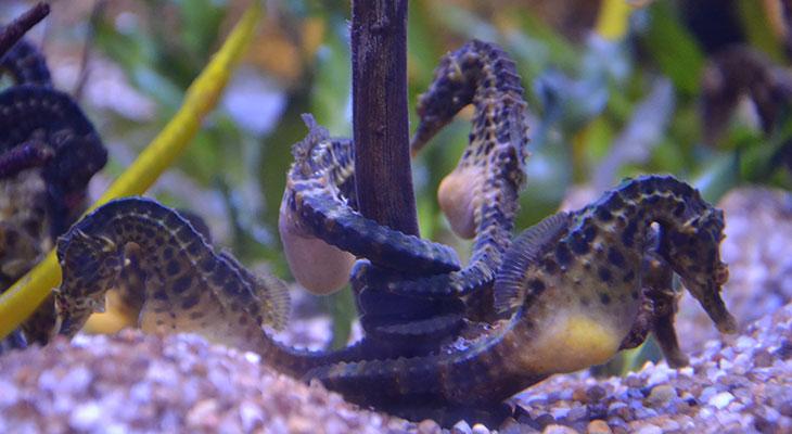 sea horses courtship ritual