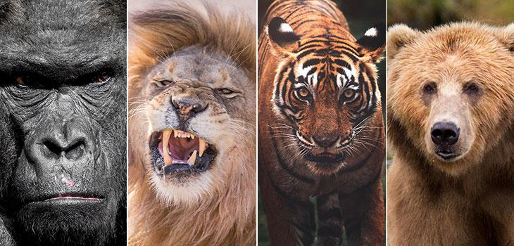 gorilla vs lion tiger bear