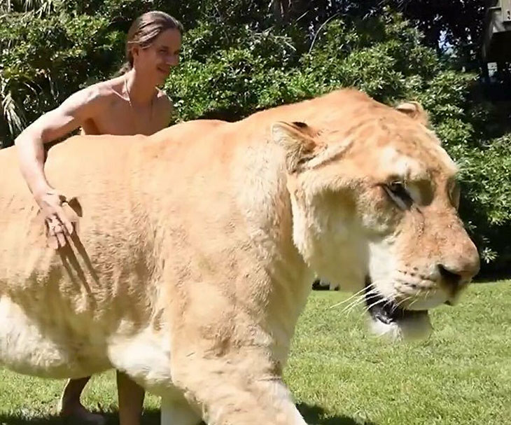 are ligers real