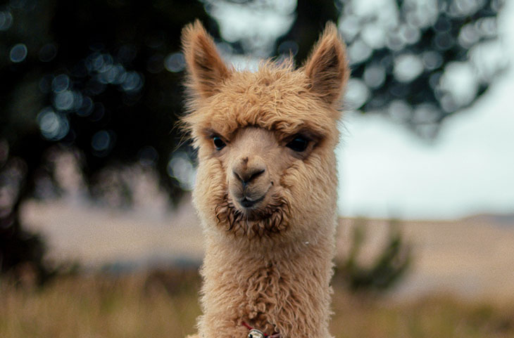 Why Do Llamas Spit
