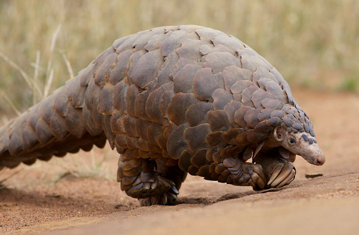 how do pangolins protect themselves