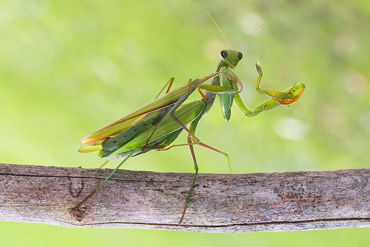 praying mantis eats mate