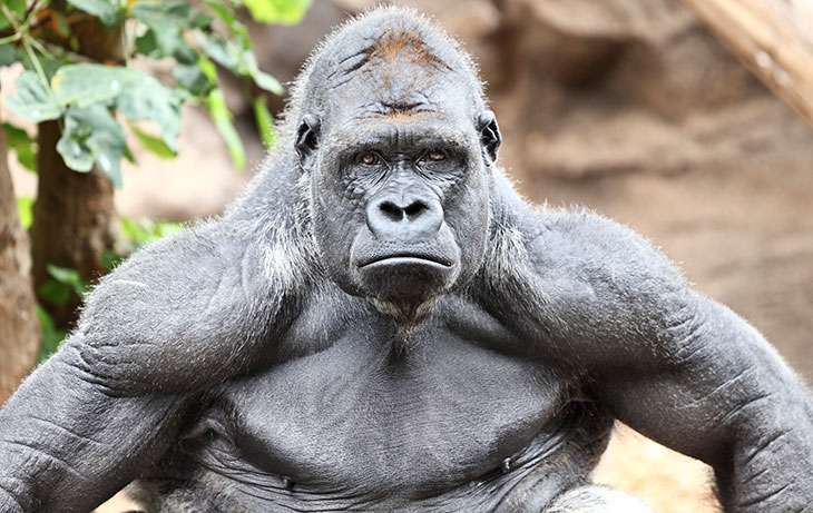 how do gorillas get so big and strong