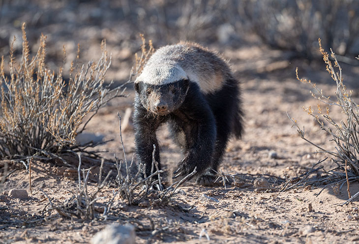 Why Are Honey Badgers So Hard To Kill