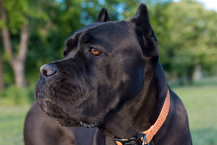 are cane corso dangerous