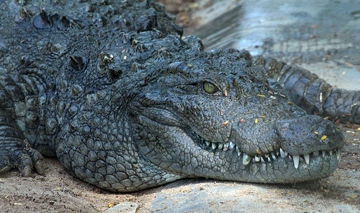 Are Crocodiles Immortal