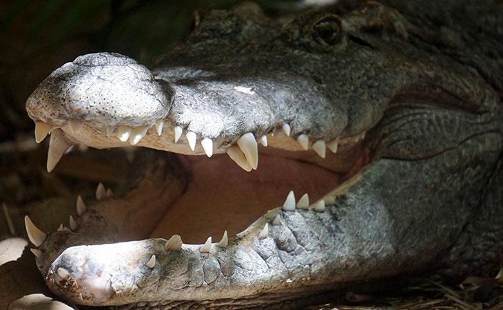 crocodile bite force