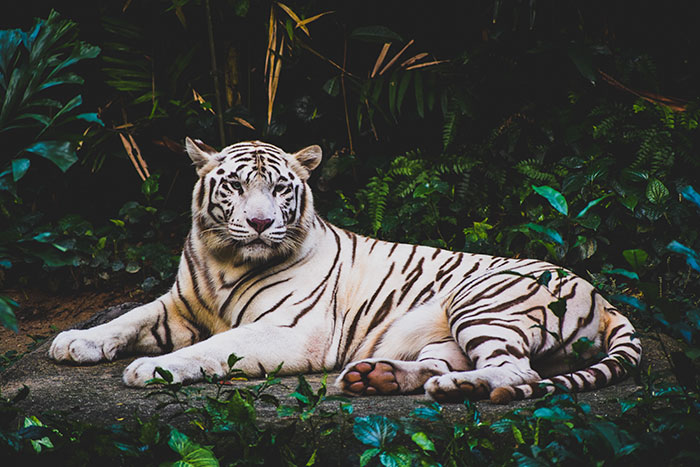 Do White Tigers Exist in the Wild