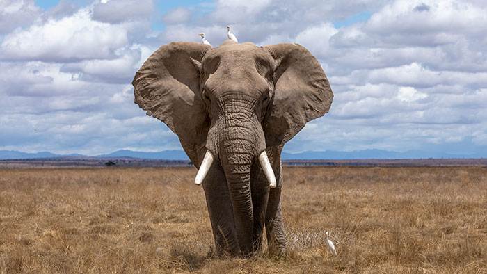 elephant vs lion