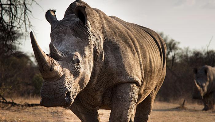 elephant vs rhino