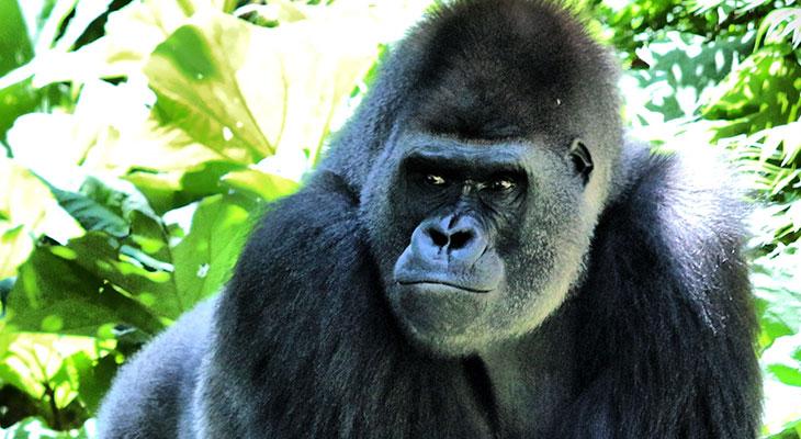 gorilla bite force