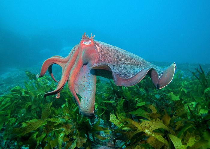 how do cuttlefish catch their prey