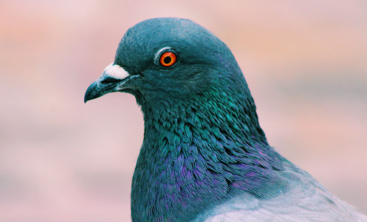 How Smart Are Pigeons