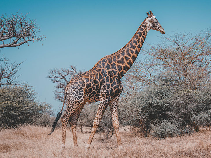 how strong is a giraffe's kick