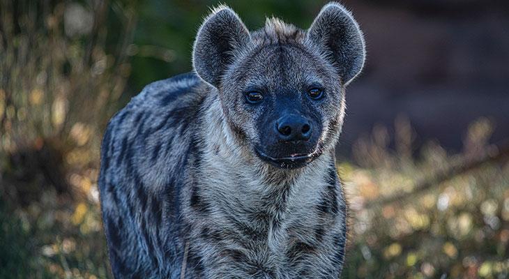 hyena bite force