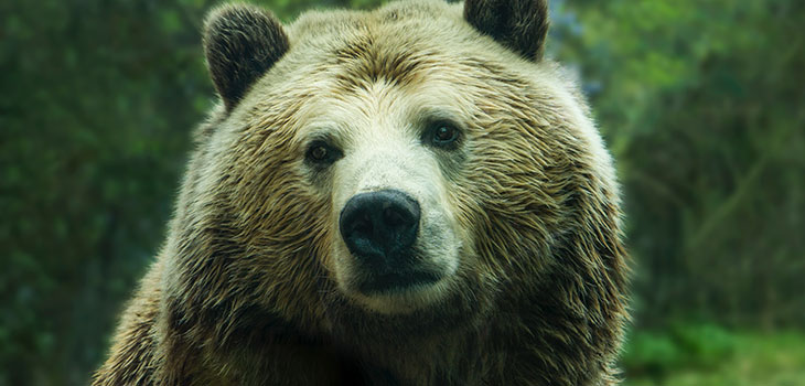hippo vs grizzly bear
