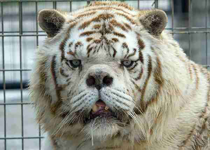 kenny the tiger