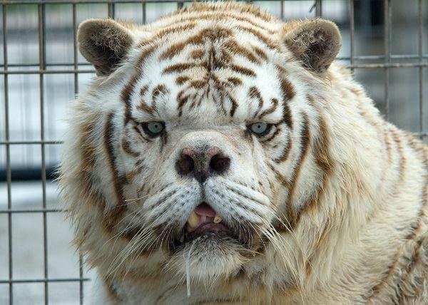 kenny white tiger