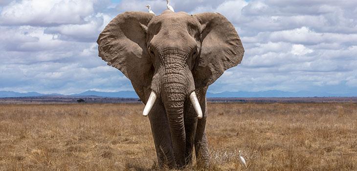 hippo vs elephant