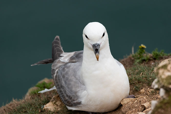 northern fulmar vomit