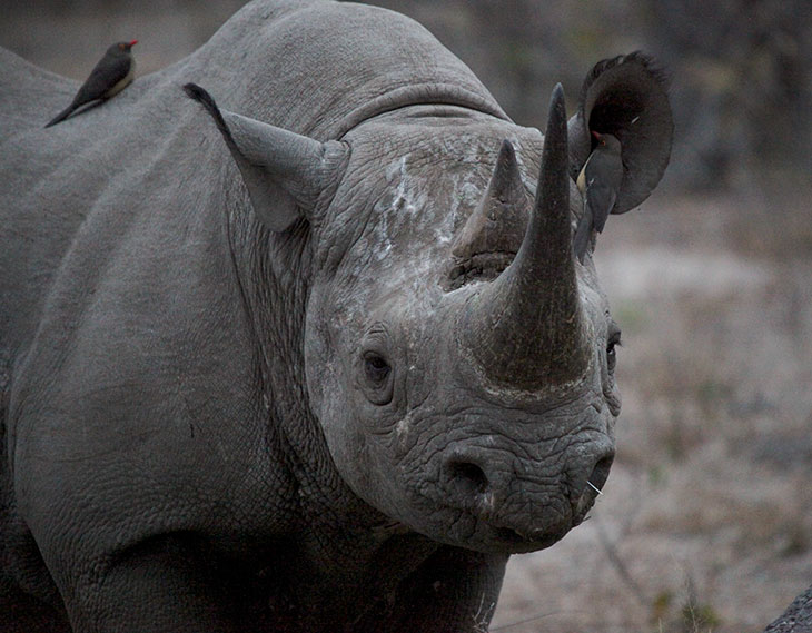 Why are rhinos blind