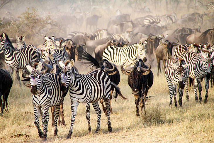 why do zebras migrate