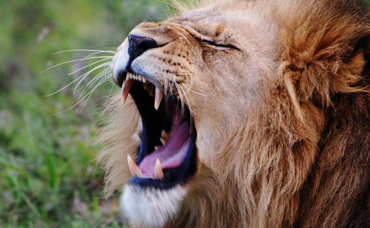 lion bite force