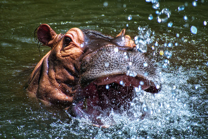 Which Animals Could Beat a Hippo in a Fight