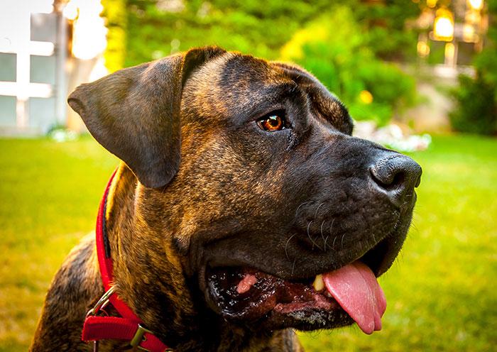 are presa canario dangerous dogs