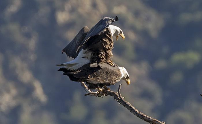 how do bald eagles mate