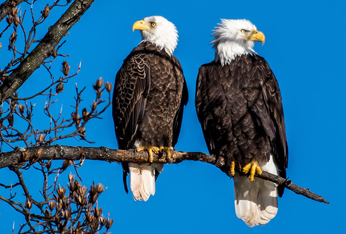 how do bald eagles mate
